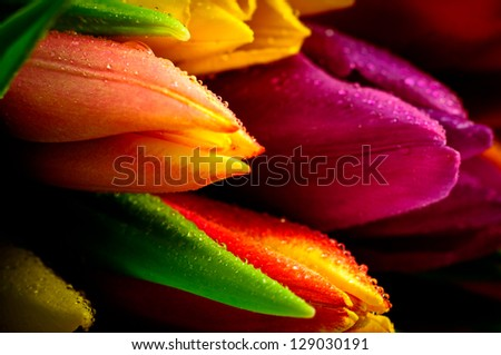 Tulips Rainbow Close-Up with Waterdrops