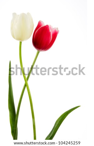 Tulips. Red and white flower isolated on white