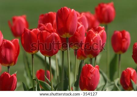 Tulips rossi con priorità bassa vaga. Profondità del campocorta (fuoco). - stock photo