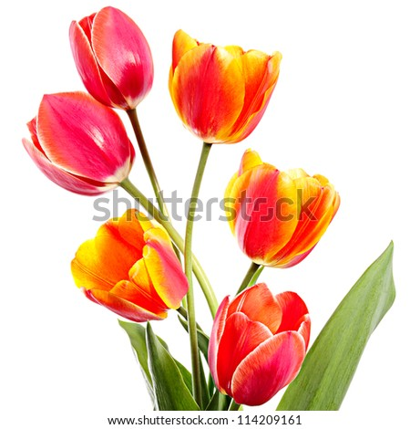 Tulips. Six arrangement flowers on a white background