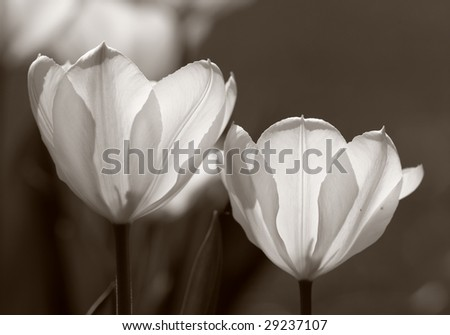 Tulips (very detailed) in black and white