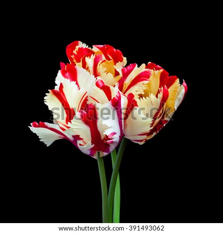 Tulips wallpaper, parrot flowers bouquet