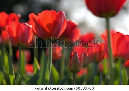 Tulips with focus on bud