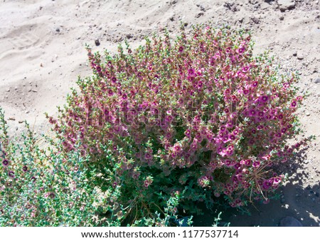 tumbleweedin the Kyzyl Kum Desert - Kali tragus (Russian thistle or common saltwort), plant in the family Amaranthaceae. Also is known as