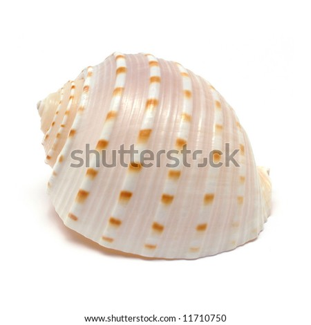 Tun Spiral shell isolated on white