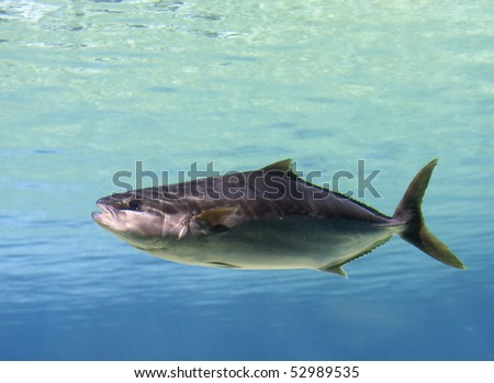 Tuna Cobia swimming over tropical coral reef