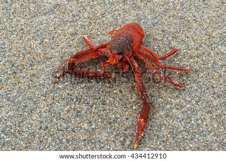 Tuna crab washed up on a sand beach