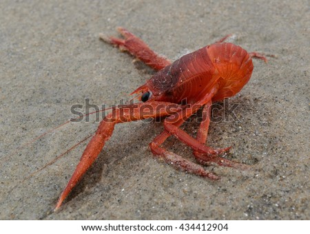Tuna crab with curled tail washed up on a sand beach side view