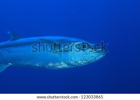 Tuna fish in the blue water of the ocean