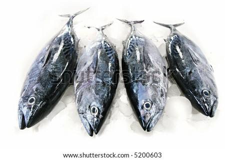 Tuna Fish on Ice isolated on white background
