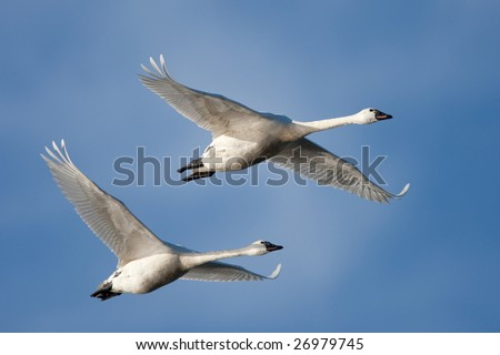 Tundra Swans in flight.