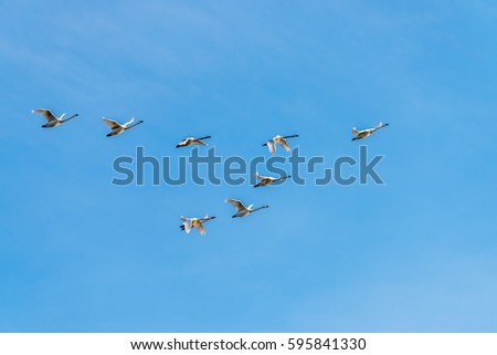 Tundra Swans in formation over Middle Creek Wildlife Management Area in Pennsylvania.