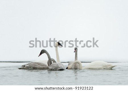 Tundra swans swim in the freezing river. In the winter. Alaska,  USA