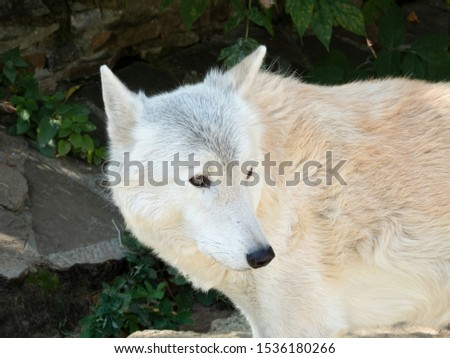 Tundra wolf (Canis lupus albus), also known as the Turukhan wolf is a subspecies of grey wolf native to Eurasia's tundra and forest-tundra zones from Finland to the Kamchatka Peninsula Сток-фото ©