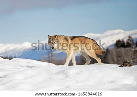 Tundra Wolf (Canis lupus albus) walking in the winter snow with the mountains in the background in Montana Сток-фото ©