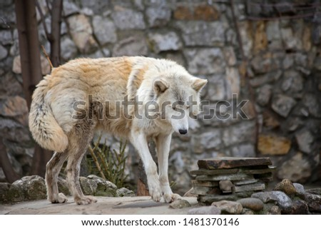 Tundra wolf. The tundra wolf is the common wolf, who lives in Russia. The tundra wolf's habitat covers the tundra and forest-tundra zone of the European part and Siberia up to the Arctic coast.