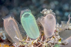 tunicate is a marine invertebrate animal, a member of the subphylum Tunicata, which is part of the Chordata,