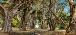 Tunnel Between Cypress Trees, Point Reyes, California. Beautiful places concept