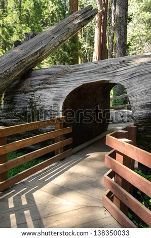 tunnel dug in the trunk of a sequoia fall