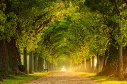 Tunnel-like Avenue of Linden Trees, Tree Lined Footpath through Park at Sunrise