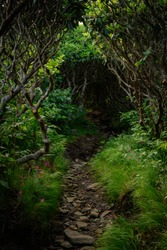 Tunnel of Rhododendron Bushes Over Appalachian Trail in late spring