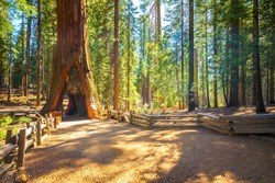 Tunnel Tree, Mariposa Grove, Yosemite National Park, California, USA - Sequoia tree