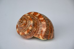 Turbo petholatus, common name the tapestry turban sea shell. Tapestry turban is a species of sea snail, marine gastropod mollusk in the family Turbinidae. Natural decoration, white background