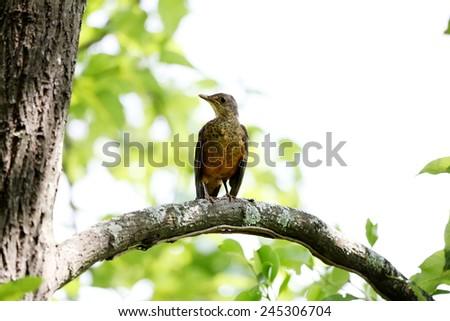 Turdus rufiventris on the tree Foto stock ©