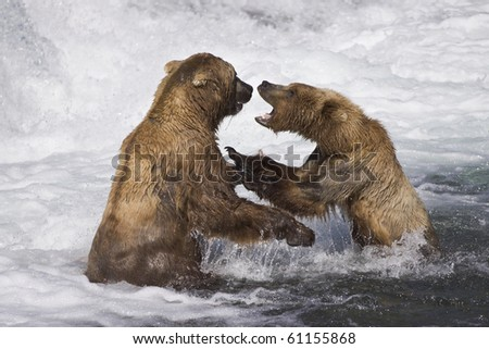 Turf Battle - Two male grizzly bears over a salmon fishing spot. Brooks river, Katmai National Park, Alaska.