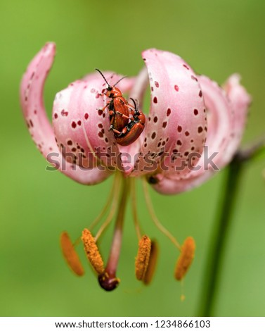 Turk's-cap lily with two chafers on it - symbolic picture: sex