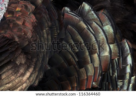 Turkey feathers displaying colors