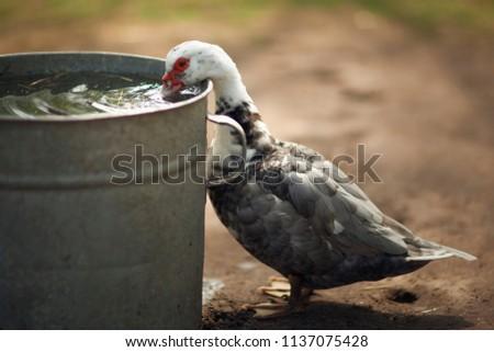 Turkey hen is drinking water
