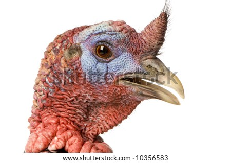 turkey in front of a white background