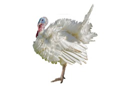 Turkey isolated on a white background. Male turkey isolated on a white background. turkeys poultry isolated on a white background.