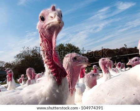 Turkey on a farm