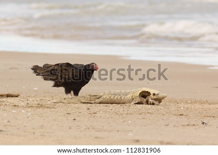 Turkey Vulture (Cathartes aura) Examining a Dead Lake Sturgeon (Acipenser fulvescens) Washed up on the Beach - Lake Huron, Ontario