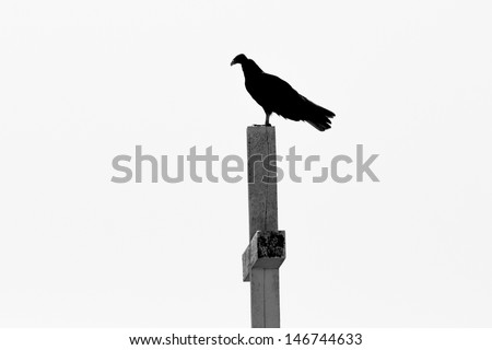 Turkey Vulture (Cathartes aura ruficollis ) perched on a cemetery grave. Patagonia, Argentina, South America