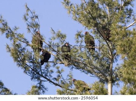 Turkey vultures perch in a tree near a small pond in Illinois