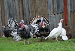 Turkeys in farm