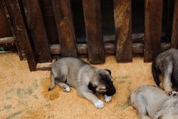 Turkish breed shepherd dog puppies  Kangal as livestock guarding dog