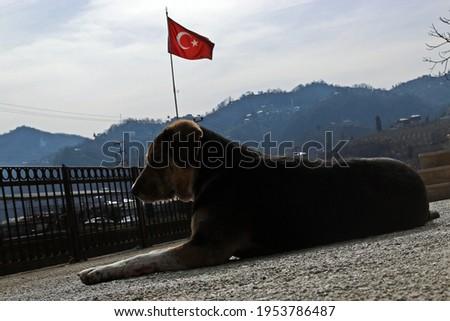 Turkish flag and stray dog Stok fotoğraf ©