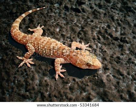 Turkish Gecko - Hemidactylus turcicus, on a rough wall
