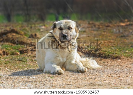 Turkish Sivas Kangal dog. Kangal dogs have gained a reputation for being exceptionally fierce and loyal in battles, defending their flock, against predators of all sizes. Isparta-Turkey #1505932457