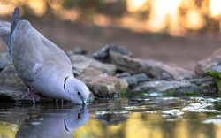 Turkish turtledove drinking in an abbreak