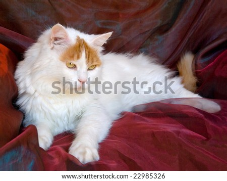 Turkish Van adult on shiny background fabric