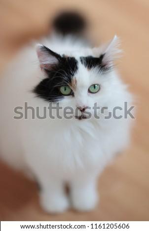 Turkish Van Cat #1161205606