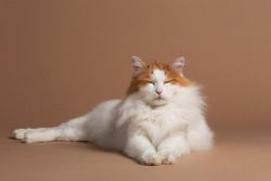 Turkish van cat having almost closed eyes and laying on a beige brown background