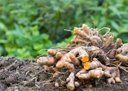 Turmeric root (Curcuma longa),Herb plant
