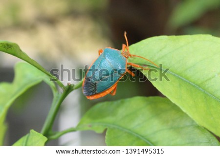 Turquiose Shield bug on a leaf in garden Merida, Mexico #1391495315