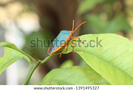 Turquiose Shield bug on a leaf in garden Merida, Mexico #1391495327